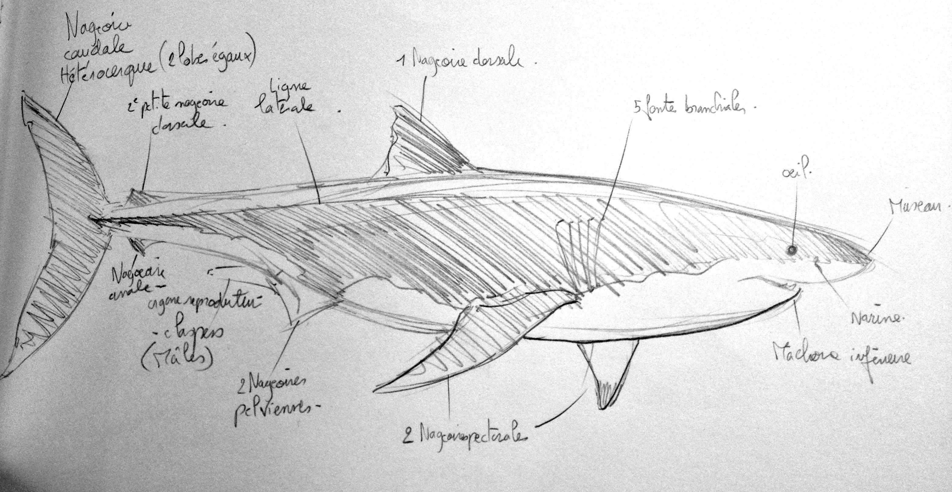 Tape num ro 2 la cr ation des dessins d octobre 2013 janvier 2014 alexandrine civard - Modele dessin requin ...