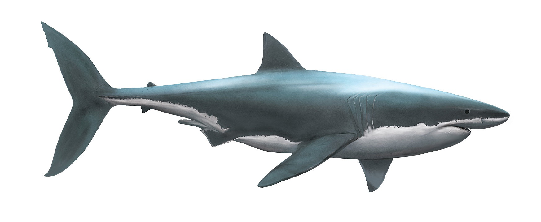 Tape 6 dessin de requin termin pictures to pin on pinterest - Requin en dessin ...